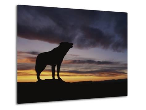 Howling Wolf Silhouetted against Sunset Sky-Norbert Rosing-Metal Print