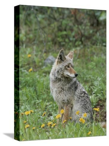 Coyote with Wildflowers-Norbert Rosing-Stretched Canvas Print