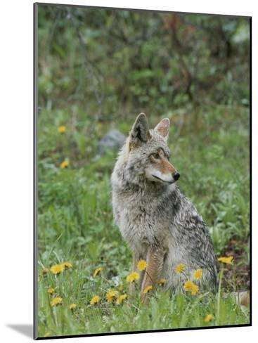 Coyote with Wildflowers-Norbert Rosing-Mounted Photographic Print