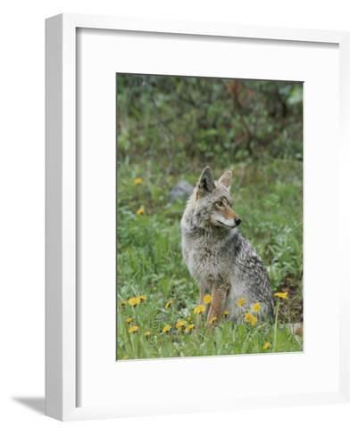 Coyote with Wildflowers-Norbert Rosing-Framed Art Print