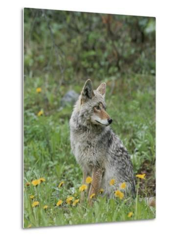 Coyote with Wildflowers-Norbert Rosing-Metal Print