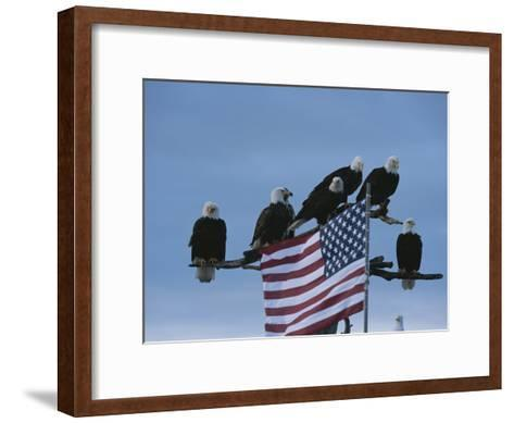 A Group of Northern American Bald Eagles Sit on a Trees Sparse Perches-Norbert Rosing-Framed Art Print