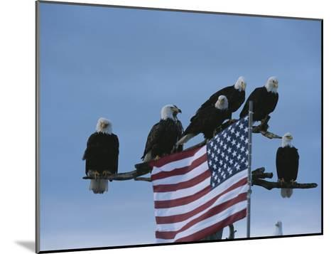 A Group of Northern American Bald Eagles Sit on a Trees Sparse Perches-Norbert Rosing-Mounted Photographic Print