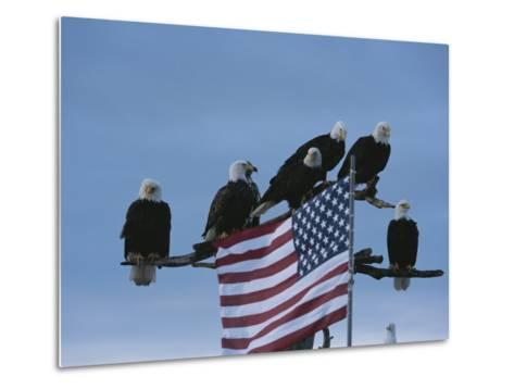 A Group of Northern American Bald Eagles Sit on a Trees Sparse Perches-Norbert Rosing-Metal Print