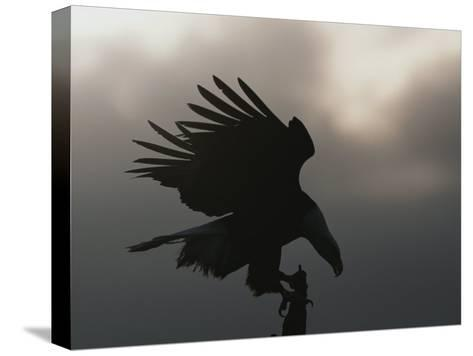 A Silhouetted Northern American Bald Eagle-Norbert Rosing-Stretched Canvas Print