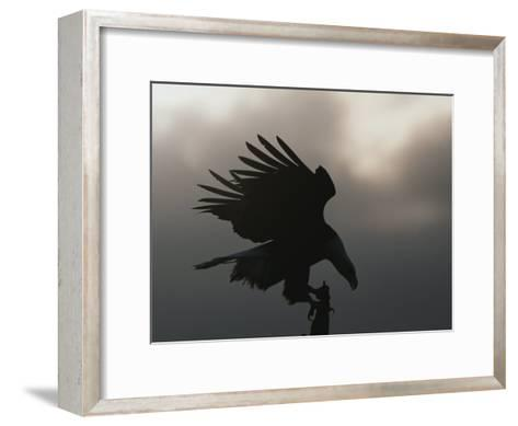 A Silhouetted Northern American Bald Eagle-Norbert Rosing-Framed Art Print