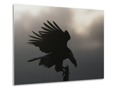 A Silhouetted Northern American Bald Eagle-Norbert Rosing-Metal Print