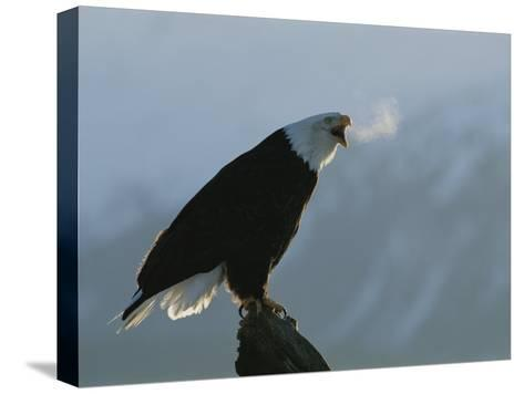 Steamy Breath Escapes into the January Air from a Vocalizing Eagle-Norbert Rosing-Stretched Canvas Print