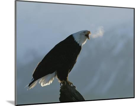 Steamy Breath Escapes into the January Air from a Vocalizing Eagle-Norbert Rosing-Mounted Photographic Print