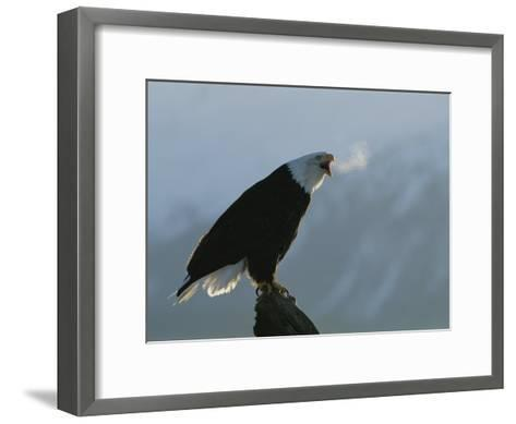 Steamy Breath Escapes into the January Air from a Vocalizing Eagle-Norbert Rosing-Framed Art Print