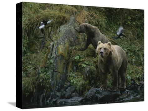 A Pair of Grizzly Bears Spook Some Birds at Waters Edge-Karen Kasmauski-Stretched Canvas Print
