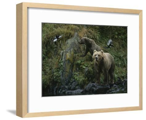 A Pair of Grizzly Bears Spook Some Birds at Waters Edge-Karen Kasmauski-Framed Art Print