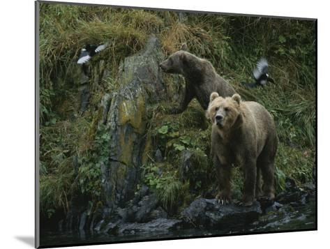 A Pair of Grizzly Bears Spook Some Birds at Waters Edge-Karen Kasmauski-Mounted Photographic Print