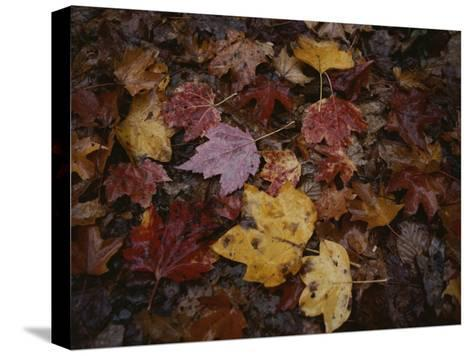 Autumn Colors Overlap in a Pile of Fallen Leaves-Sam Kittner-Stretched Canvas Print