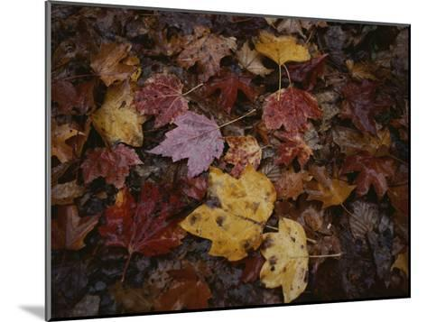 Autumn Colors Overlap in a Pile of Fallen Leaves-Sam Kittner-Mounted Photographic Print