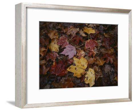Autumn Colors Overlap in a Pile of Fallen Leaves-Sam Kittner-Framed Art Print