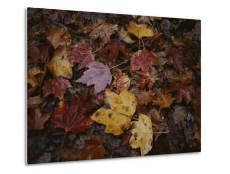 Autumn Colors Overlap in a Pile of Fallen Leaves-Sam Kittner-Metal Print