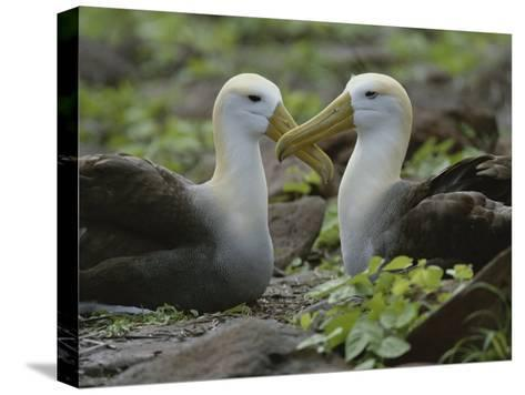Two Waved Albatrosses Sit Facing One Another-Michael Melford-Stretched Canvas Print