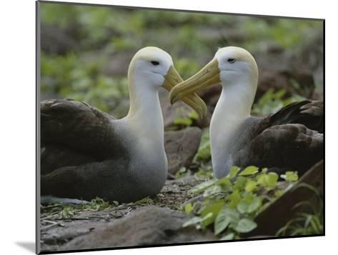 Two Waved Albatrosses Sit Facing One Another-Michael Melford-Mounted Photographic Print