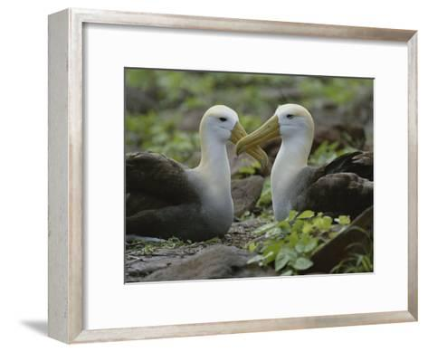 Two Waved Albatrosses Sit Facing One Another-Michael Melford-Framed Art Print
