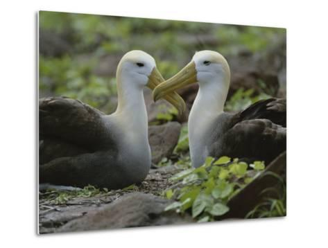 Two Waved Albatrosses Sit Facing One Another-Michael Melford-Metal Print