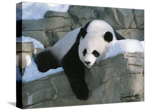 A Panda Rests in the Snow at the National Zoo in Washington, Dc-Taylor S^ Kennedy-Stretched Canvas Print