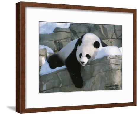 A Panda Rests in the Snow at the National Zoo in Washington, Dc-Taylor S^ Kennedy-Framed Art Print