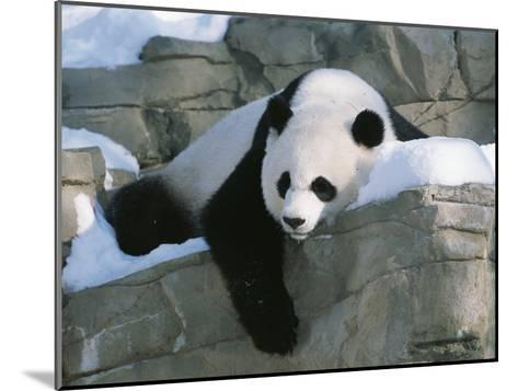 A Panda Rests in the Snow at the National Zoo in Washington, Dc-Taylor S^ Kennedy-Mounted Photographic Print