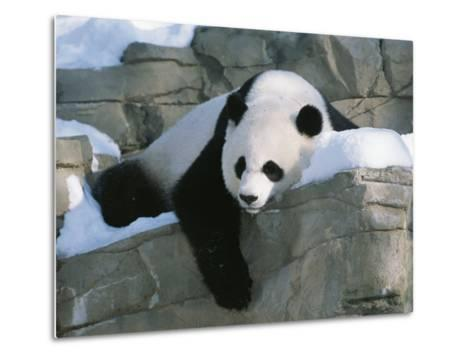 A Panda Rests in the Snow at the National Zoo in Washington, Dc-Taylor S^ Kennedy-Metal Print