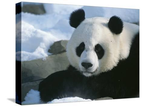 A Panda at the National Zoo in Washington, Dc-Taylor S^ Kennedy-Stretched Canvas Print