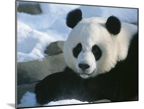 A Panda at the National Zoo in Washington, Dc-Taylor S^ Kennedy-Mounted Photographic Print