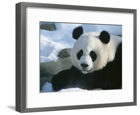 A Panda at the National Zoo in Washington, Dc-Taylor S^ Kennedy-Framed Art Print