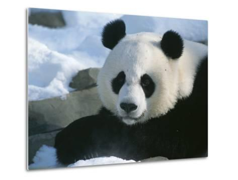 A Panda at the National Zoo in Washington, Dc-Taylor S^ Kennedy-Metal Print