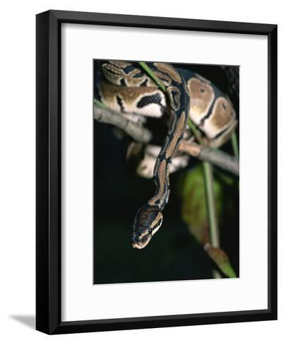 A Ball Python in a Tree-Taylor S^ Kennedy-Framed Art Print