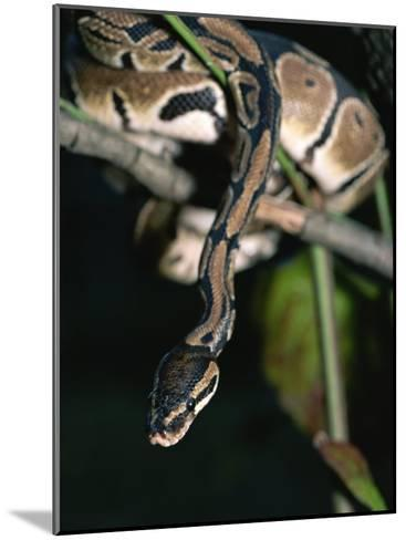 A Ball Python in a Tree-Taylor S^ Kennedy-Mounted Photographic Print