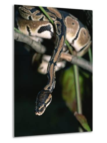 A Ball Python in a Tree-Taylor S^ Kennedy-Metal Print