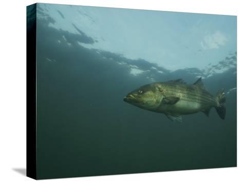 A Striped Bass, Morone Saxatilis, Swims off the Coast-Bill Curtsinger-Stretched Canvas Print