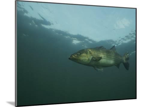 A Striped Bass, Morone Saxatilis, Swims off the Coast-Bill Curtsinger-Mounted Photographic Print