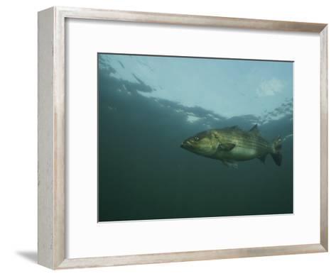 A Striped Bass, Morone Saxatilis, Swims off the Coast-Bill Curtsinger-Framed Art Print