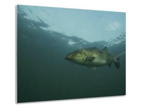 A Striped Bass, Morone Saxatilis, Swims off the Coast-Bill Curtsinger-Metal Print