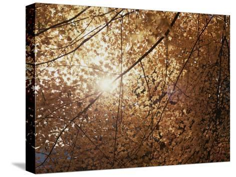 Sun Peeks Through a Canopy of Yellow Autumn Leaves-Stephen St^ John-Stretched Canvas Print