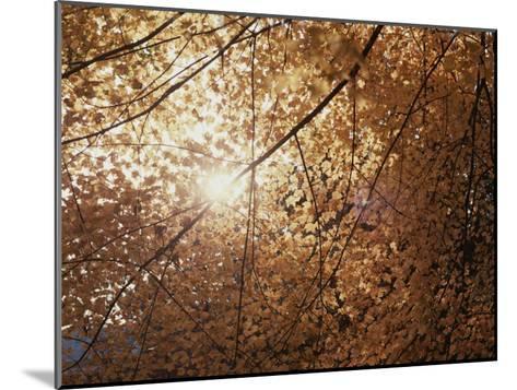 Sun Peeks Through a Canopy of Yellow Autumn Leaves-Stephen St^ John-Mounted Photographic Print