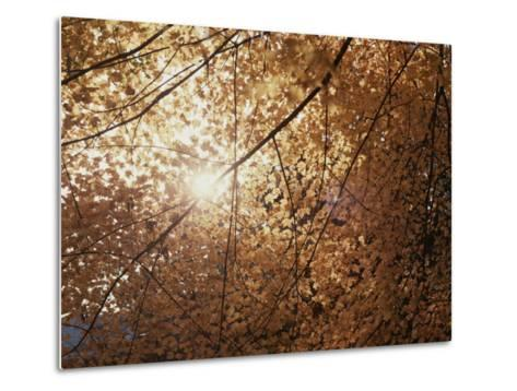Sun Peeks Through a Canopy of Yellow Autumn Leaves-Stephen St^ John-Metal Print