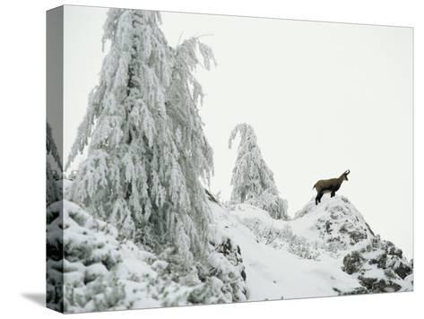 Fir Trees and Chamois in Snow, Berchtesgaden National Park, Germany-Norbert Rosing-Stretched Canvas Print