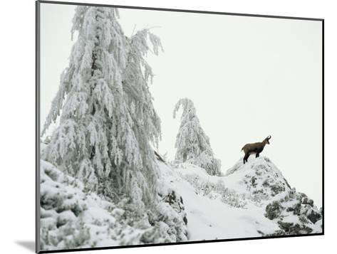 Fir Trees and Chamois in Snow, Berchtesgaden National Park, Germany-Norbert Rosing-Mounted Photographic Print