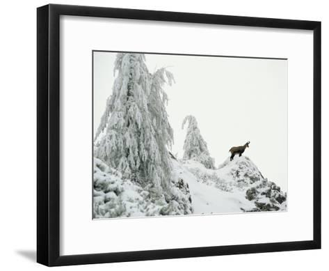 Fir Trees and Chamois in Snow, Berchtesgaden National Park, Germany-Norbert Rosing-Framed Art Print