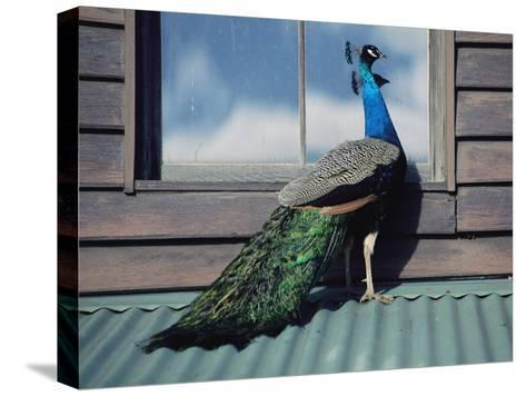 A Peacock Peers in the Window of a Building-Medford Taylor-Stretched Canvas Print