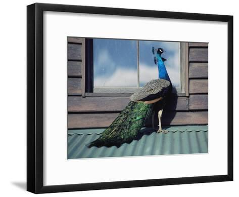A Peacock Peers in the Window of a Building-Medford Taylor-Framed Art Print