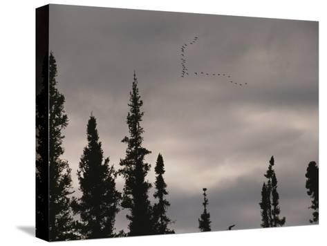 Geese Fly in Formation Above Silhouetted Pine Trees-Raymond Gehman-Stretched Canvas Print