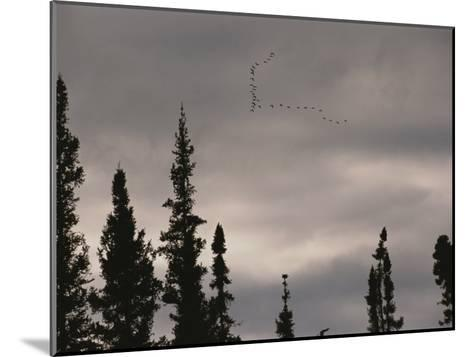 Geese Fly in Formation Above Silhouetted Pine Trees-Raymond Gehman-Mounted Photographic Print